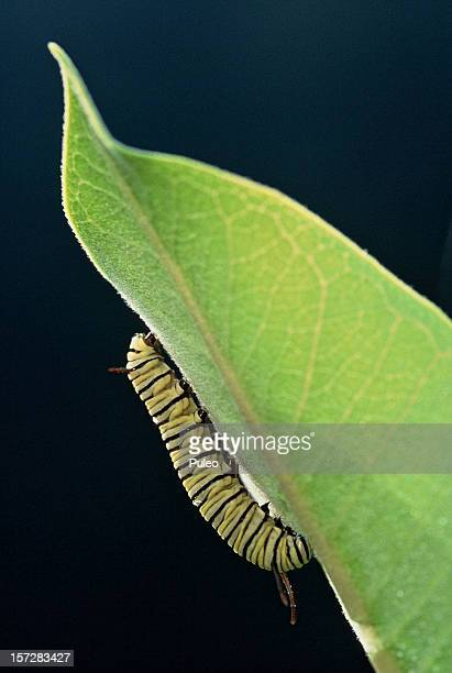 monarch catipillar - geometridae stock photos and pictures
