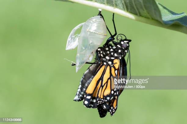 monarch emerging from chrysalis folded - cocoon stock pictures, royalty-free photos & images