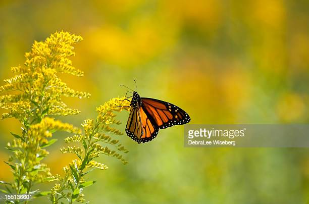 monarch feeding on goldenrod - goldenrod stock pictures, royalty-free photos & images