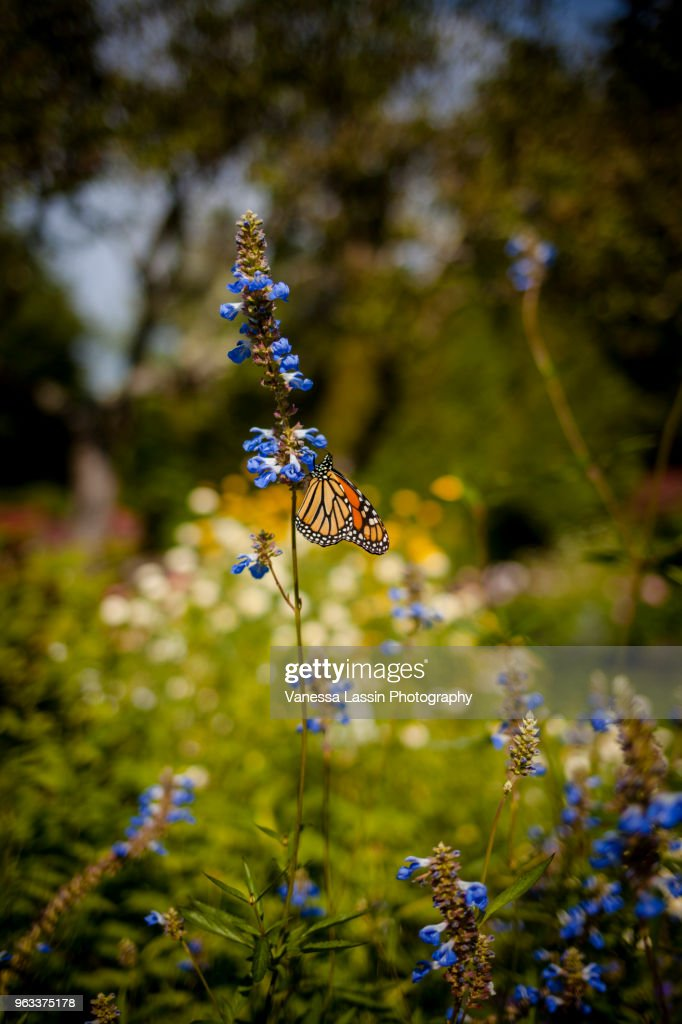 Monarch in Maine : Stock Photo