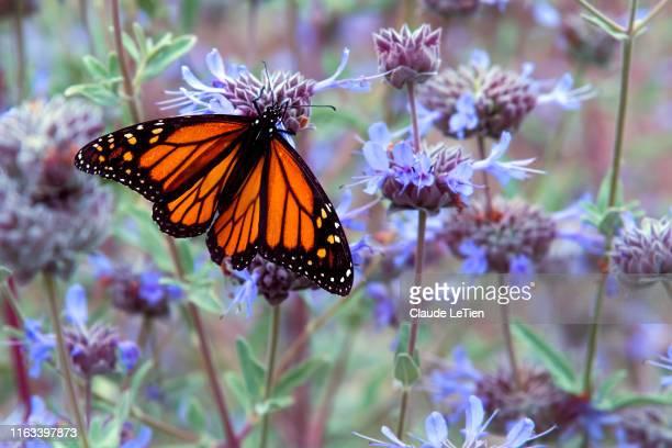 monarch moment - mariposa monarca fotografías e imágenes de stock