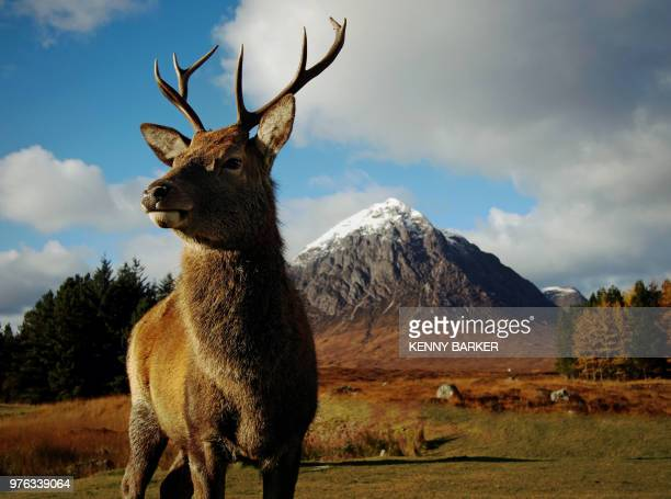 monarch of the glen - cervo maschio foto e immagini stock
