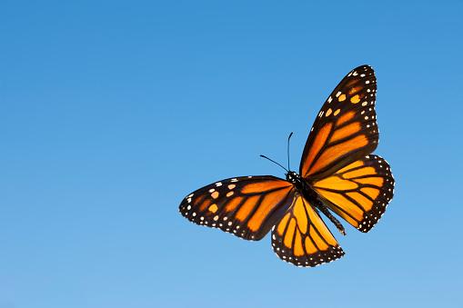Monarch 184621282