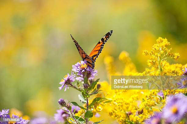 monarch wings - goldenrod stock pictures, royalty-free photos & images