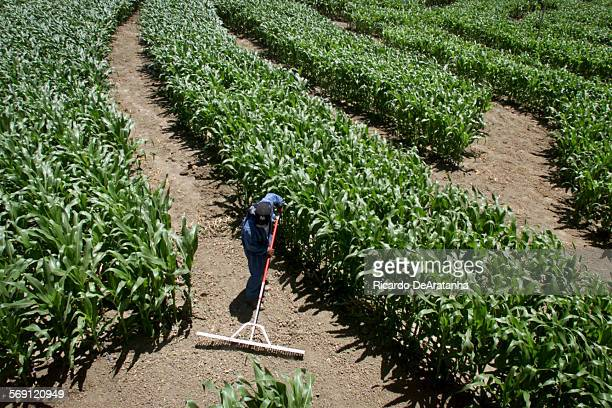 Monday 6/5/2000 Camarillo CA –– Farm worker grooming the path of the Amazing Maize Maze soon to open at the corner of Hueneme Rd and Las Posas Rd in...