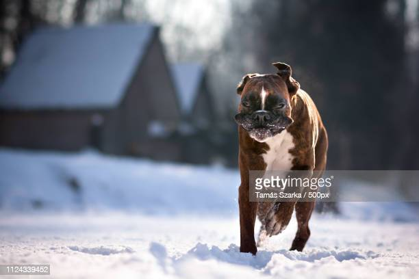 monday mood - boxer dog stock pictures, royalty-free photos & images