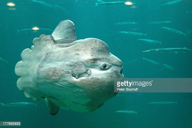 Mondfisch im RiesenAquarium NordseeOzeanarium Hirtshals Jütland Dänemark Europa Reise