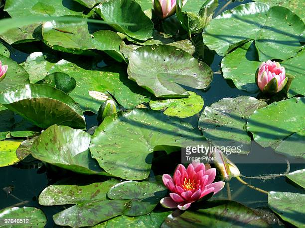 monet's lilly pads - impressionism stock photos and pictures