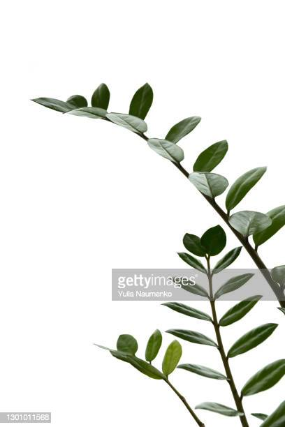 money tree, green plant leaves - branch stock pictures, royalty-free photos & images