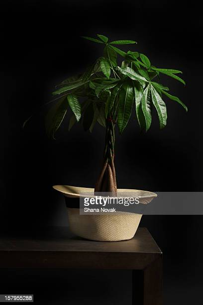 money tree growing from a hat - guyana stock pictures, royalty-free photos & images