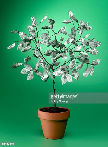 money tree in clay pot - money tree stock photos and pictures