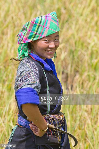 H'mong woman harvests rice