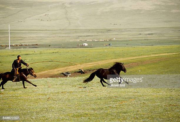 Mongolia, a stallion being caught with the traditional Urga lasso in the Bulgan province.