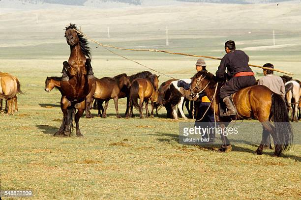 MNG Mongolia a stallion being caught with the traditional Urga lasso in the Bulgan province