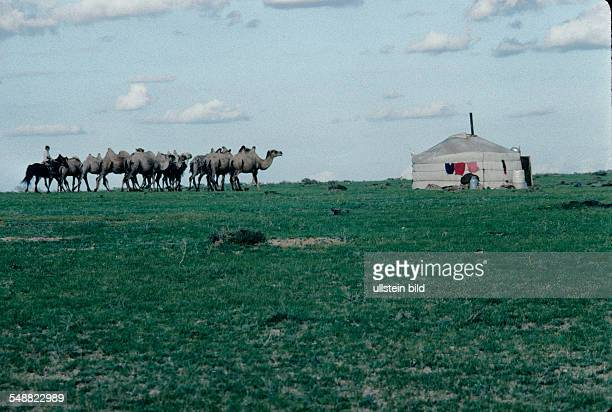 Mongolia, camel herded to a jurt to he milked in the Gobi steppe in the Oevoer-Hangay province.