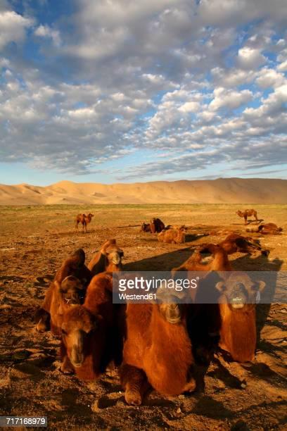 mongolia, gobi gurvansaikhan national park, khongoryn els, camels resting in gobi desert - mongólia imagens e fotografias de stock