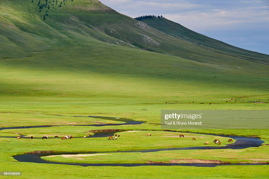 Mongolia, herd in the steppe : Stock Photo