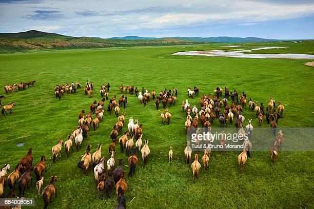 mongolia, horse's herd, horserider - semiarid stock-fotos und bilder