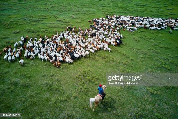 Mongolia, Selenge province, shepherd and his sheep flock