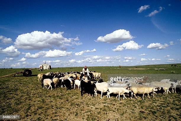 Mongolia, sheep being readied to milk in the Gobi steppe, Oevoer-Hangay province.