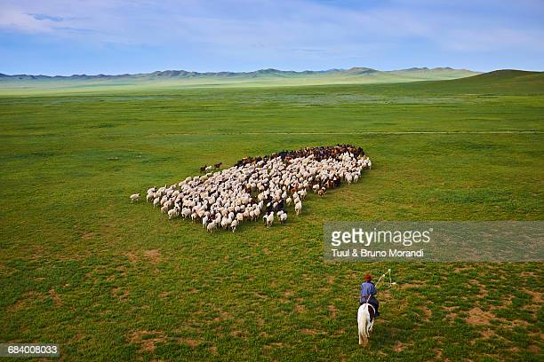 mongolia, sheepherd, horserider - independent mongolia stock pictures, royalty-free photos & images