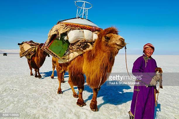 mongolia, transhumance with bactriane camel - almabtrieb stock-fotos und bilder