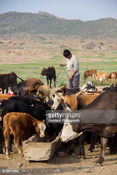 mongolia: watering hole - trough stock photos and pictures