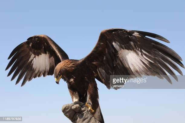 mongolian eagle extending wings - spread wings stock pictures, royalty-free photos & images