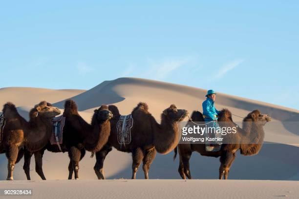 Mongolian herder is riding with Bactrian camels in evening light at the Hongoryn Els sand dunes in the Gobi Desert Gobi Gurvansaikhan National Park...