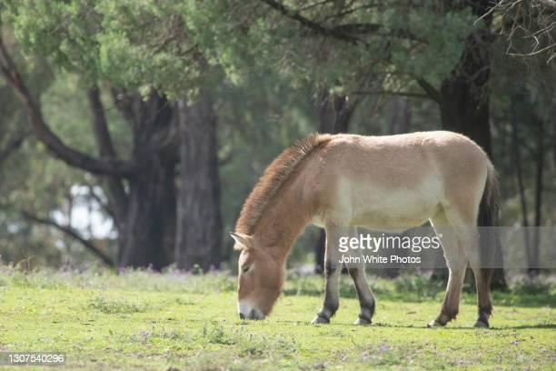 mongolian horse - dubbo australia stock pictures, royalty-free photos & images