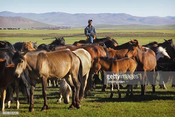 mongolian horseman watches over herd. - pastora vega fotografías e imágenes de stock