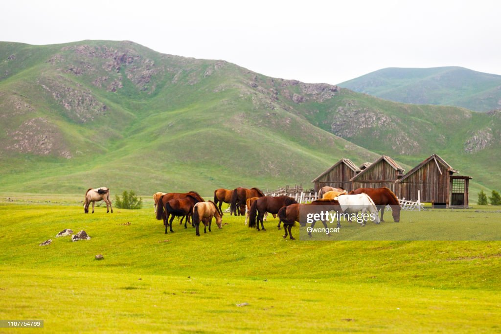 Mongolian horses in the Orkhlon Valley : Stock Photo
