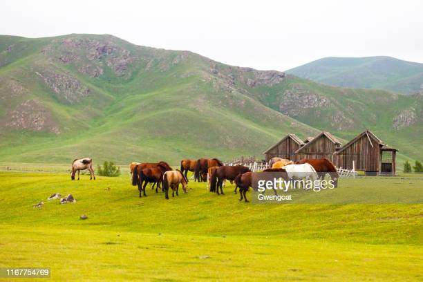 mongolian horses in the orkhlon valley - gwengoat stock pictures, royalty-free photos & images