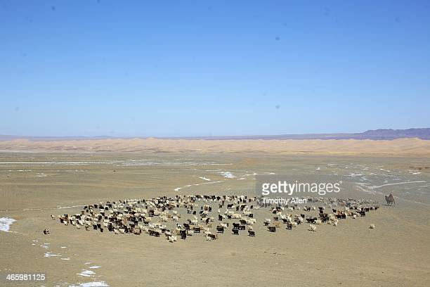 Mongolian nomad herds sheep & cashmere goats