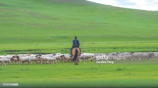 Mongolian nomad on horseback herding his livestock into the green pasture.