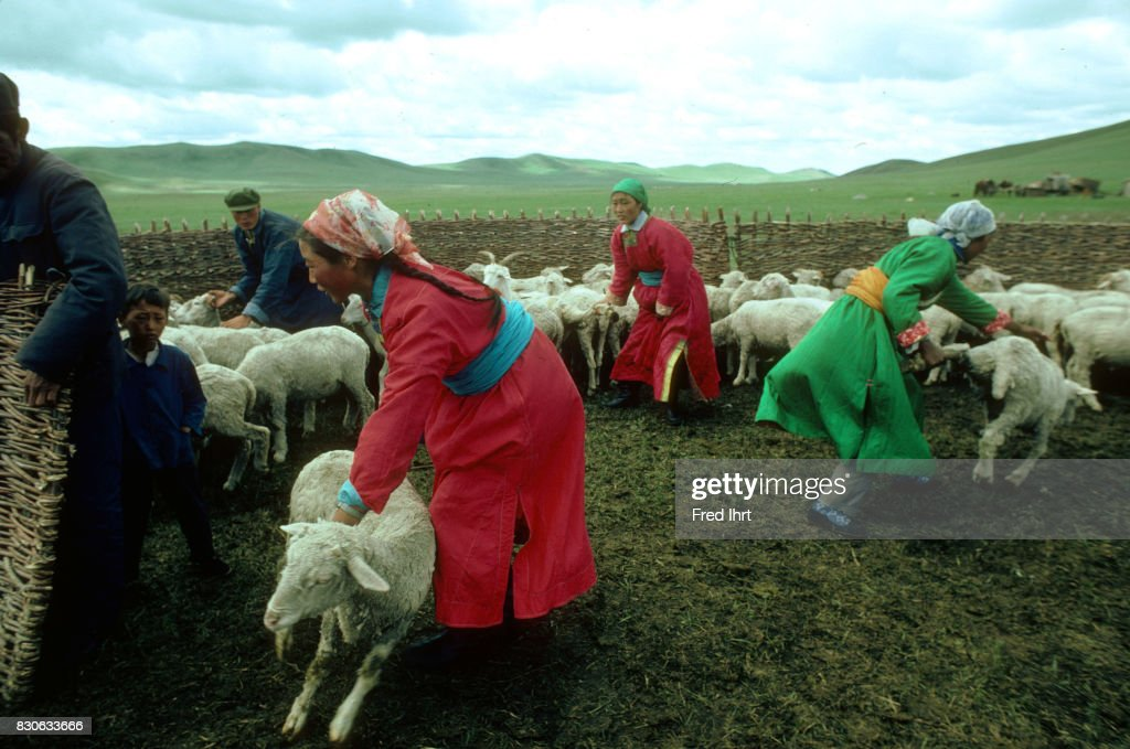 Mongolian nomad women and men catching sheep for shearing