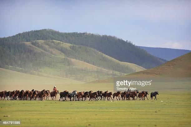 Mongolian nomads corral herd of Mongol horses