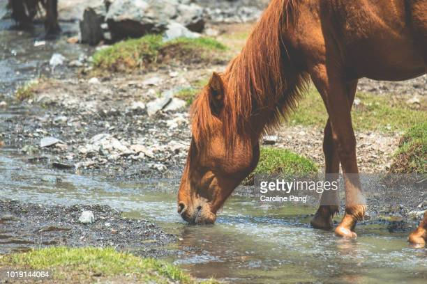 Mongolian wild horse drinking from a shallow stream in the hot summer weather.