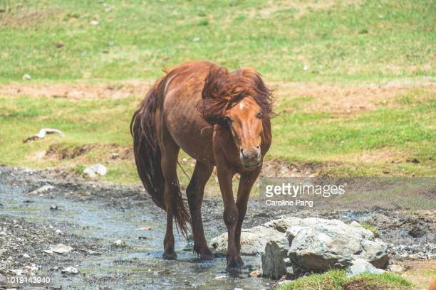 Mongolian wild horse shaking off water after cooling down in the hot summer weather.