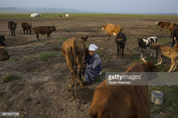 Mongolian woman milks a cow in Altanbulag Mongolia on July 28 2016 This herding family has recently begun accepting guests via Airbnb