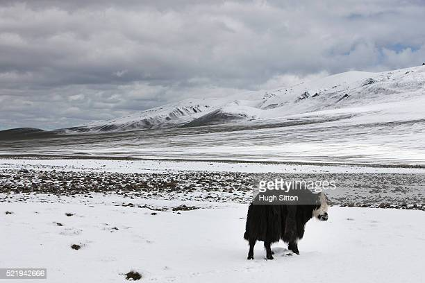 mongolian yak - hugh sitton foto e immagini stock