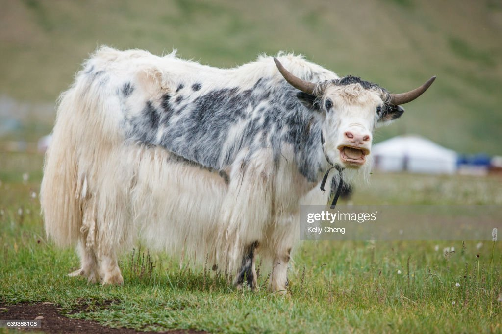 Mongolian yaks : Stock Photo
