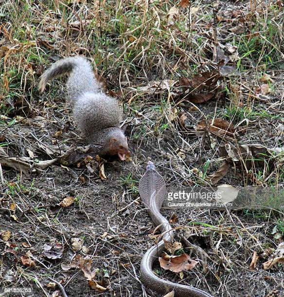 Mongoose And Snake Fight