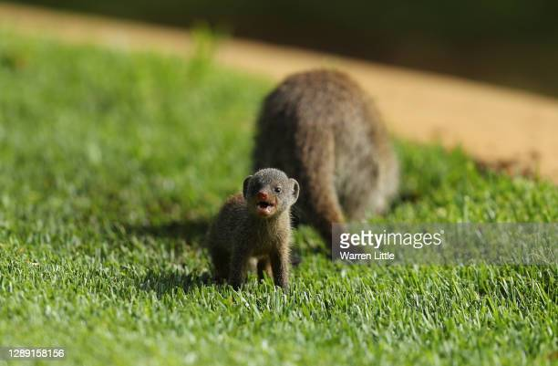 Mongoose are pictured during Day One of the South African Open at Gary Player CC on December 03, 2020 in Sun City, South Africa.