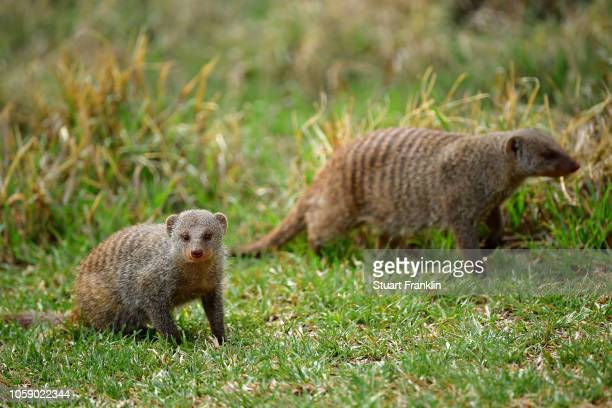Mongoose are seen on the course during day one of the Nedbank Golf Challenge at Gary Player Golf Course on November 8, 2018 in Sun City, South Africa.