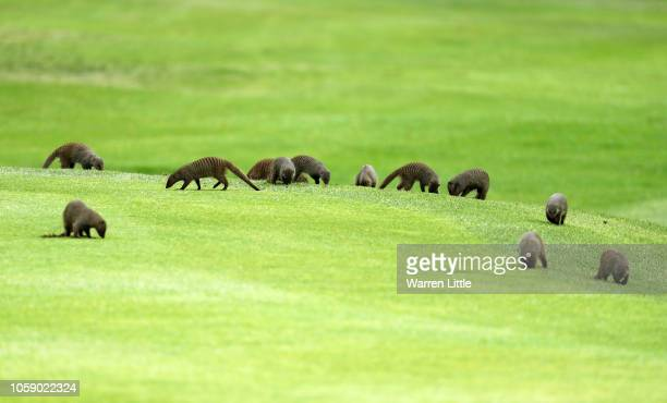 Mongoose are seen on the fairway during day one of the Nedbank Golf Challenge at Gary Player Golf Course on November 8 2018 in Sun City South Africa