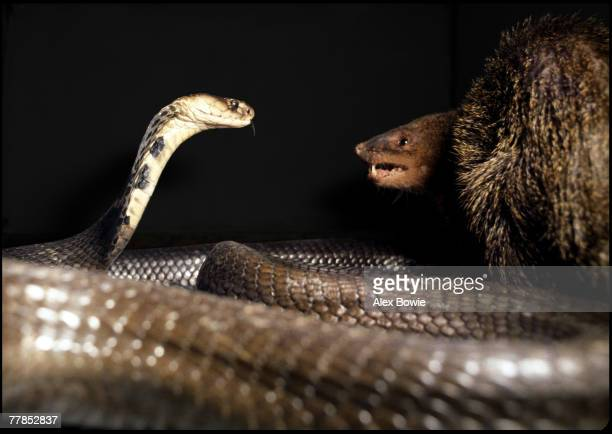 A mongoose fights a cobra at a snake restaurant on the outskirts of Bangkok Thailand 20th December 1980 The spectacle is put on for patrons and...