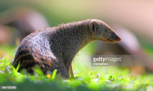 Mongoose in the wild
