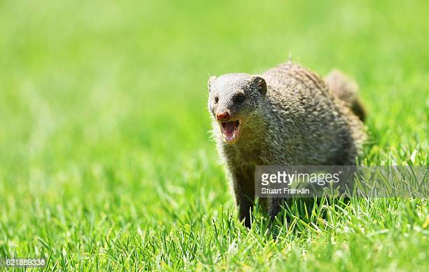 A mongoose is seen during the Pro Am of the Nedbank Golf Challenge at the Gary Player CC on November 9 2016 in Sun City South Africa