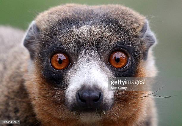 Mongoose lemur looks out from its enclosure at Bristol Zoo Gardens on May 22, 2013 in Bristol, England. A two-week old lemur called Rascal is one of...